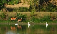 deer and swans 2012